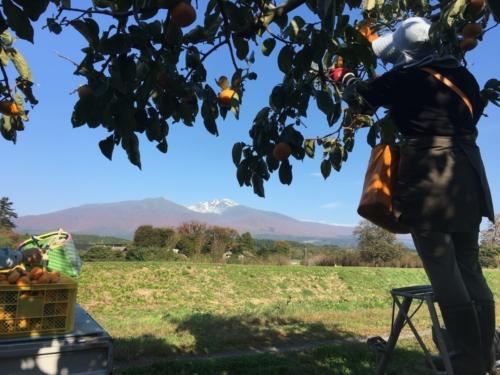 庄内柿収穫
